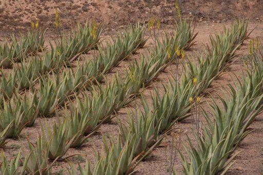 plantacion aloe vera canarias